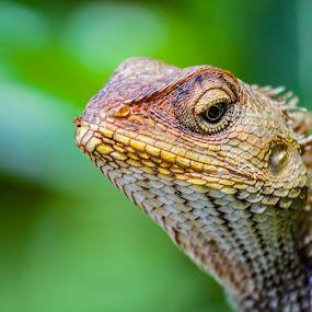 Rock Lizard by Sandip Banerjee - Animals Reptiles ( animal, reptile, portrait, colorful, wildlife,  )