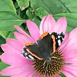 Butterfly on the flowers by Alesanko Rodriguez - Animals Insects & Spiders ( butterfly, nature, colorful, summer, beauty, insect, flowers, animal )