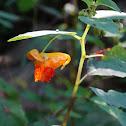 Orange Jewelweed