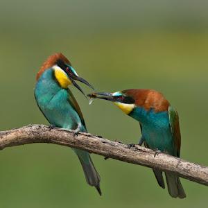 D:\01 GALERIJA FOTO\01 ptice\Čebelar - Rumenogrli čebelar - Merops apiaster\pixoto 2015\Merops-apiaster-098.jpg