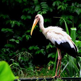 Marabou Stork by Jashper Delloroso - Animals Birds ( bird, after the rain, wet bird, marabou stork, jurong bird park )