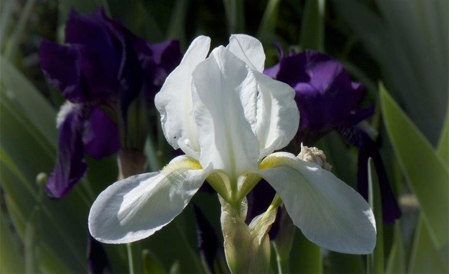 Up Front White Iris.jpg