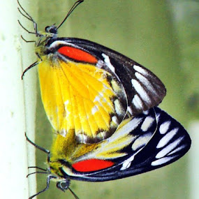 Butterfly by Sudhindu bikash Mandal - Animals Insects & Spiders