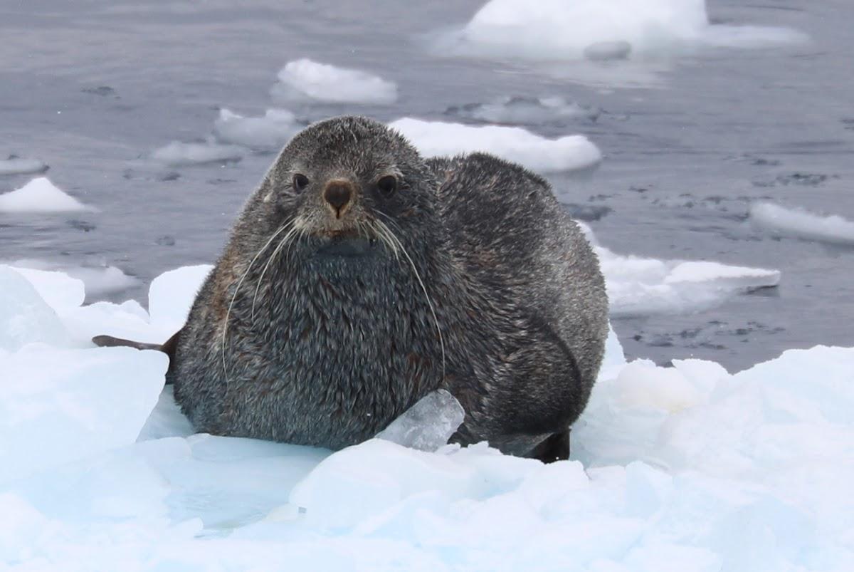 Antarctic Fur Seal