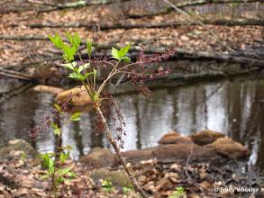 Photo: Estabrook Woods - Yellowroot (Xanthorhiza simplicissima)