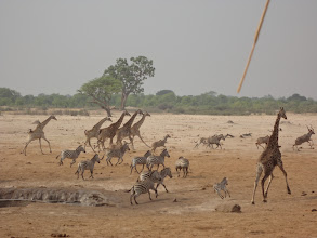 Photo: Giraffes and zebras getting the heck outta there