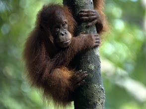 Photo: Bukit Lawang - Orangutan Rehabilitation Centre