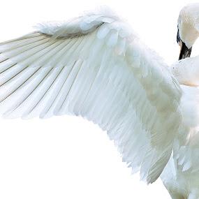 Swan by Fabienne Lawrence - Animals Birds ( feather, swan, bird )