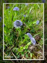Photo: Globulaire allongée, Globularia bisnagarica