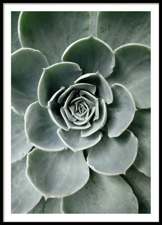 Kaktus Blomma Poster