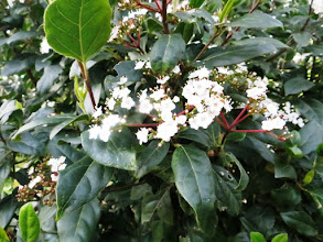 Photo: Laurier-tin Viburnum tinus