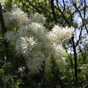 Flowering ash, crni jasen