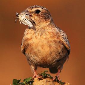 Ashy crowned sparrow lark by Nelson Thekkel - Animals Birds (  )
