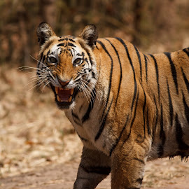 Roar by Saumitra Shukla - Animals Lions, Tigers & Big Cats ( animals, tiger, black and white, beautiful, wildlife, angry, yellow, travel, stripes, close up, teeth, eyes, animal )