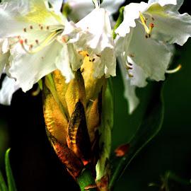 White  gold by Gordon Simpson - Flowers Flower Buds