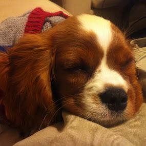 Sleepy by Scott Murphy - Animals - Dogs Portraits (  )