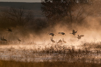 Photo: Sandhill cranes taking off from the morning mist