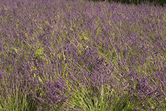 Photo: Lavender at the Tuilleries, Paris