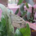 Oriental Psyche Butterfly