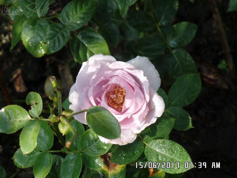Blue Storm Rose thích nhất là mùi hương ngọt ngào của nó. Chỉ với 4-5 bông hoa thì vào buổi sáng đứng gần cây hồng Blue Storm của Nhật này tỏa ra mùi hương rất dễ chịu.