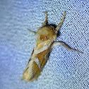 Wood Swift Moth