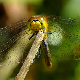 Female Ruddy Darter by Pat Somers - Animals Insects & Spiders