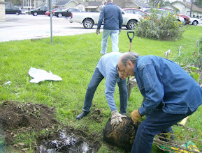 """Photo: Sue and Ralph """"prepping"""" pomegranate tree for planting 2/5/12"""