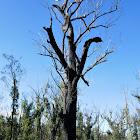 Eucalyptus tree (bushfire recovery)