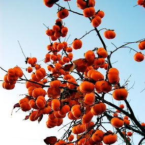 Persimmon Tree  by Amber Thomas - Nature Up Close Trees & Bushes