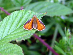Photo: Small Skipper