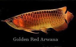 golden red arwana