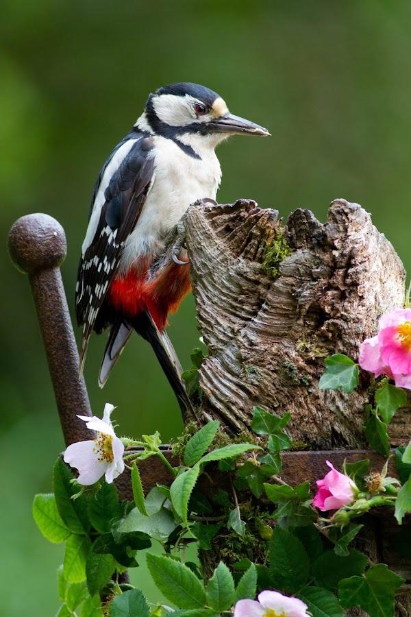 Great Spotted Woodpecker  by Brian Barnes - Uncategorized All Uncategorized