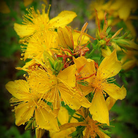 Saint John's Wort by Becky Luschei - Flowers Flowers in the Wild ( pacific northwest, saint john's wort, common, calming, wild, herb )