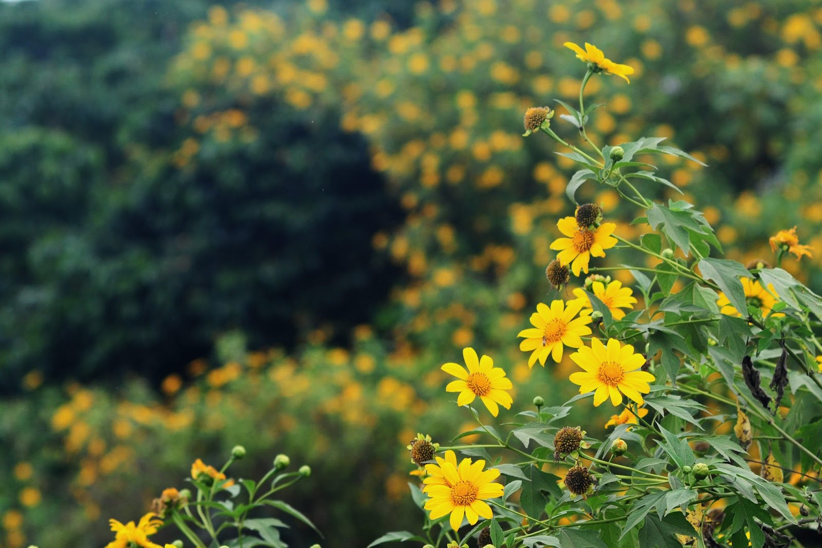 Hoa dã quỳ vàng rực cả một góc đường