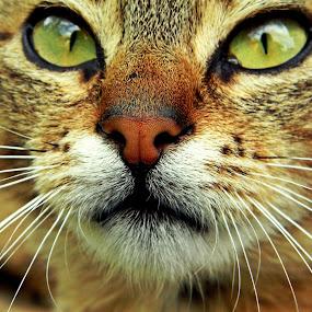 by Milica Đorđević - Animals - Cats Portraits