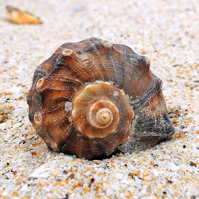 Shell by Alex Alex - Artistic Objects Other Objects ( shell, sand, blacksea, goldsand, sea )