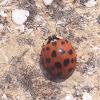 Coccinella arlecchino - Asian ladybird beetle