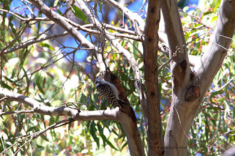 Photo: Nuttall's Woodpecker