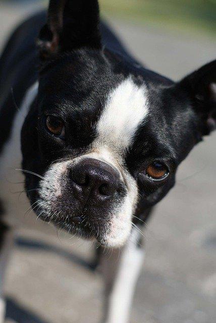 simpático bulldog boston terrier