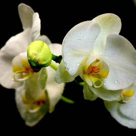 A group of white orchid flowers  by LaDonna McCray - Flowers Flowers in the Wild ( orchids, flowers, green, white, botanical, botany, free, orchid, wild, group )
