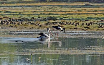 Photo: Day 3 - Australian Pelican and Black-necked Stork at Anbangbang Billabong  © Ian Morris