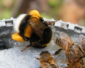 Photo: Bourdon terrestre au repas des abeilles - 2