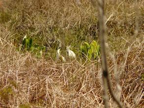 Photo: 井戸湿原でミズバショウ