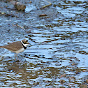 Little Ringed Plover (金目鴴)