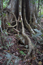 Photo: Tangles roots of the jungle