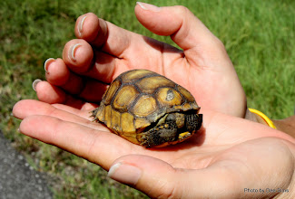 Photo: (Year 3) Day 88 - Tiny Tony Tortoise - Fits in my Palm
