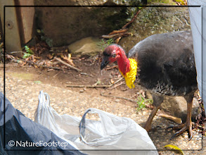 Photo: Steeling our lunch at Lamington NP © NF Photo 140922 http://nfaubird.blogspot.se/2015/01/australian-brush-turkey-alectura-lathami.html