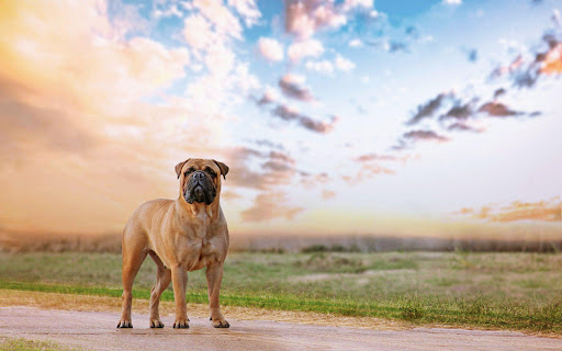 Bullmastiff Dog Live Wallpaper