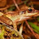 Slender Torrent Frog