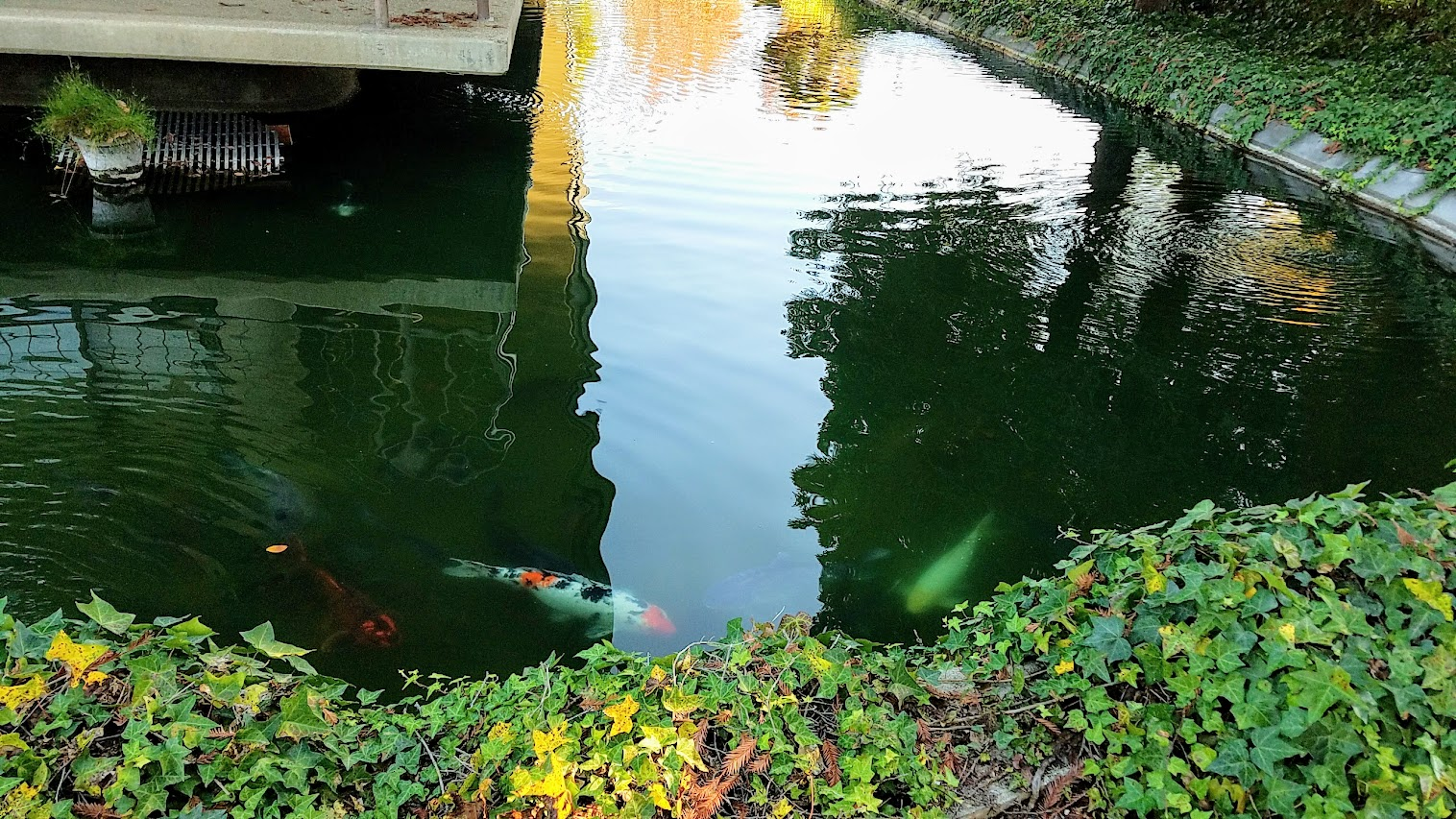A look at the peaceful setting at Gekkeikan Sake USA in Folsom with the landscape and koi pond